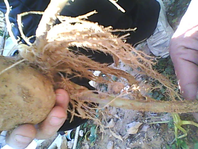[agri.] Cultiver des patates sur son balcon D0226_15