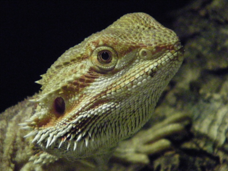 mon pogona male blood/cawley red  101_2633