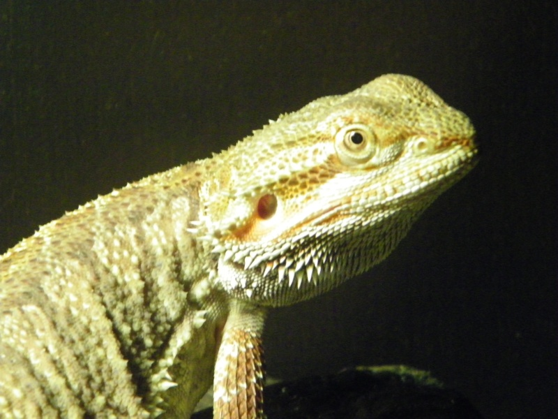 mon pogona male blood/cawley red  101_2635