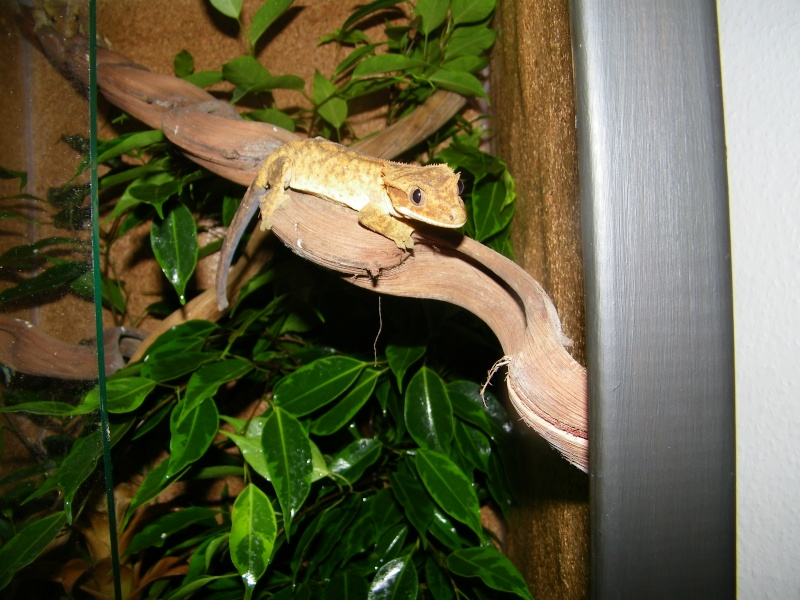 mes rhacodactylus - Page 2 101_2822