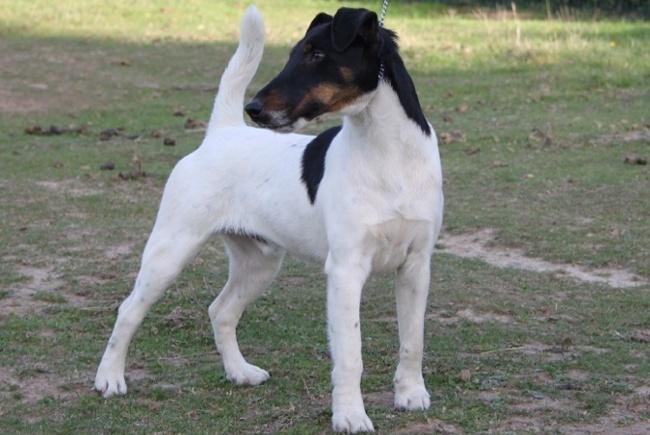Fox Terrier ♂ -  THOR Foxter11