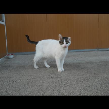 PALIKOU (mâle européen tigré et blanc) 67765_10