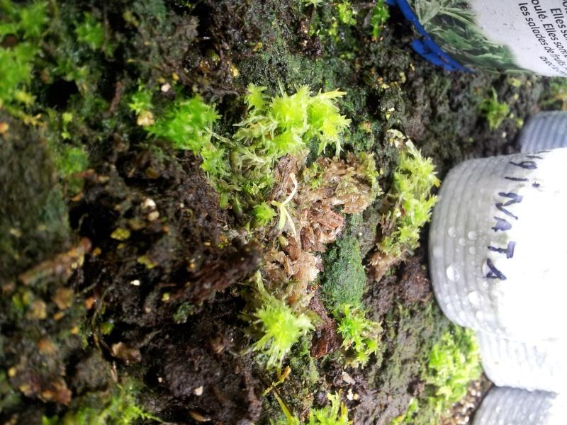 Semis nepenthes, sphaigne hachée qui devient verte ? 2011-110