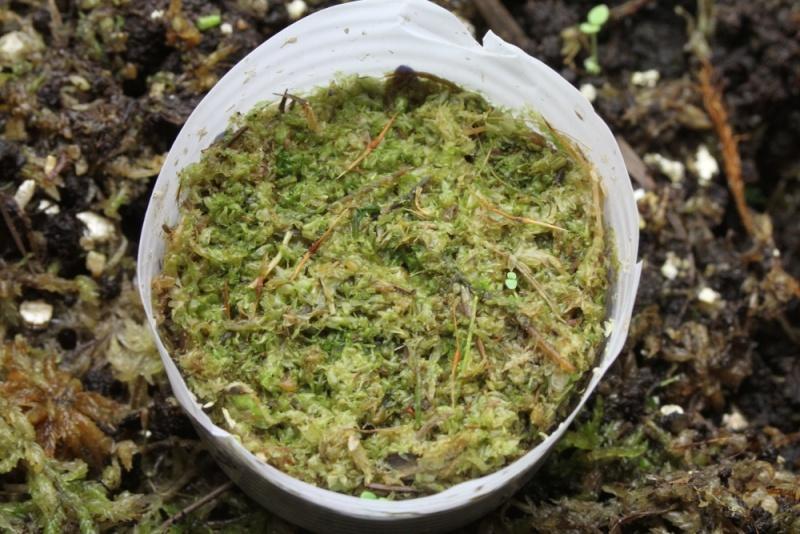 Semis nepenthes, sphaigne hachée qui devient verte ? Img_9311