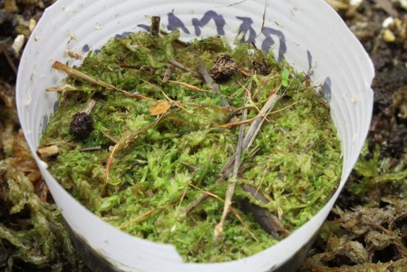 Semis nepenthes, sphaigne hachée qui devient verte ? Img_9312