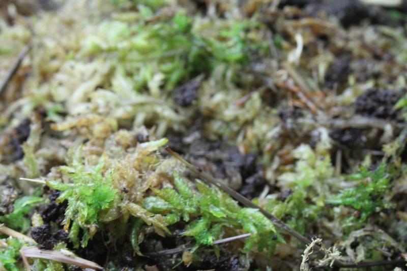 Semis nepenthes, sphaigne hachée qui devient verte ? Img_9314