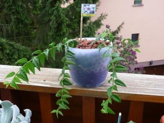 Hoya lanceolata subsp. bella (= Hoya bella) Le_30_10