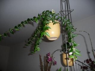 Hoya lanceolata subsp. bella (= Hoya bella) Septem10