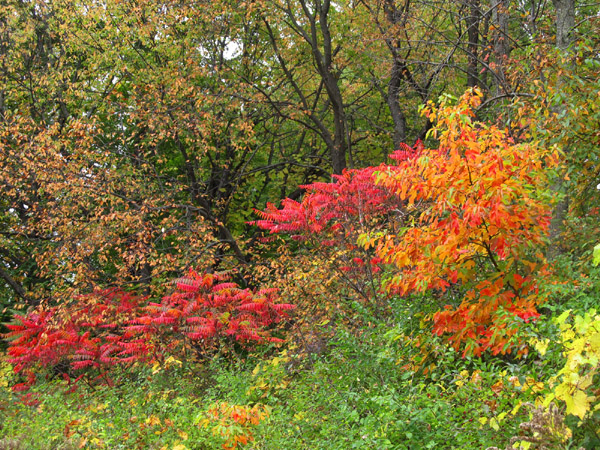 American Native genus/species for bonsai 10121110