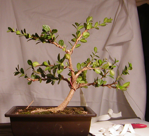 Two-year anniversary boxwood (or, two years in a beginners life) Boxwoo11