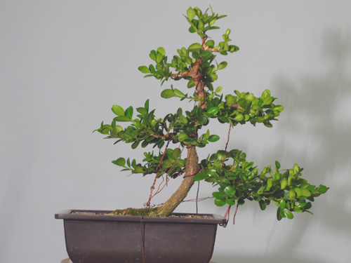 Two-year anniversary boxwood (or, two years in a beginners life) Boxwoo12