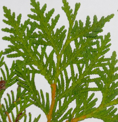 Thuja occidentalis (northern white cedar) foliage problem/browning Thuja_10