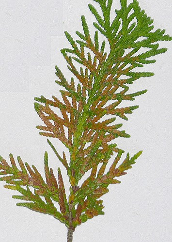 Thuja occidentalis (northern white cedar) foliage problem/browning Thuja_12