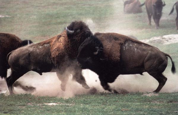 bisons et amerindiens Combat11