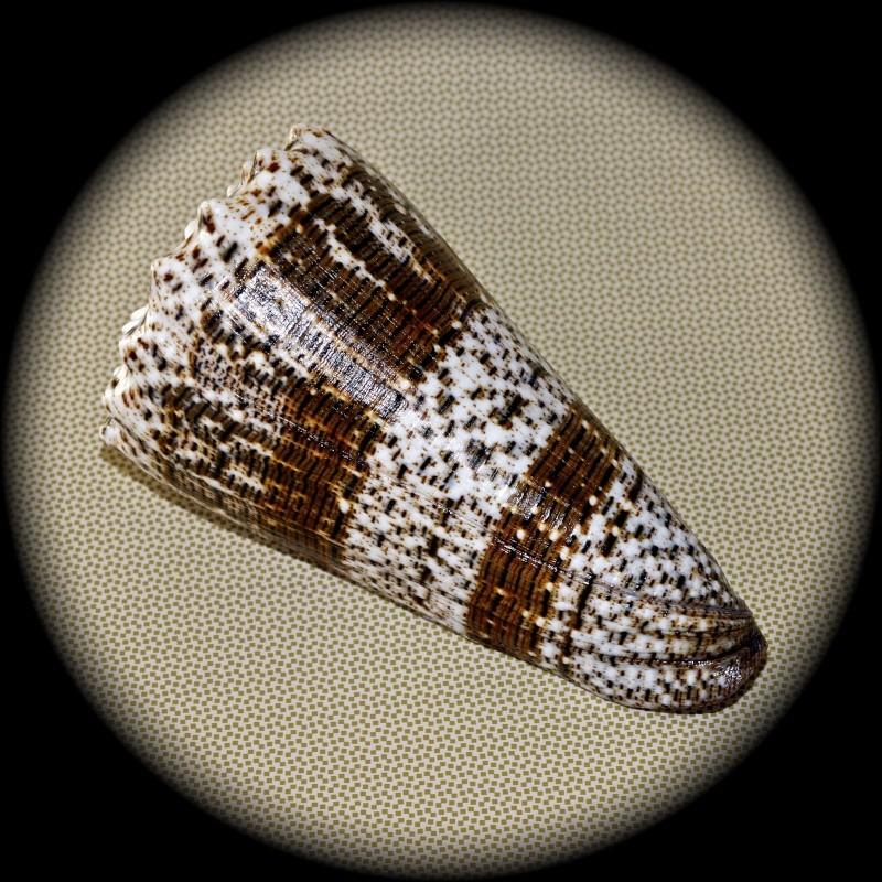 Conus (Stephanoconus) imperialis   Linnaeus, 1758 Dsc00010