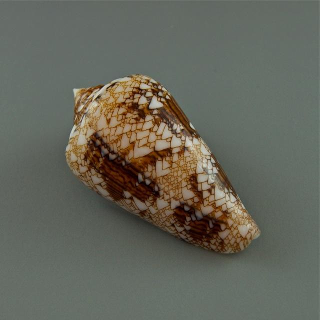 Conus (Cylinder) scottjordani (Poppe, Monnier & Tagaro, 2012) Dsc01814