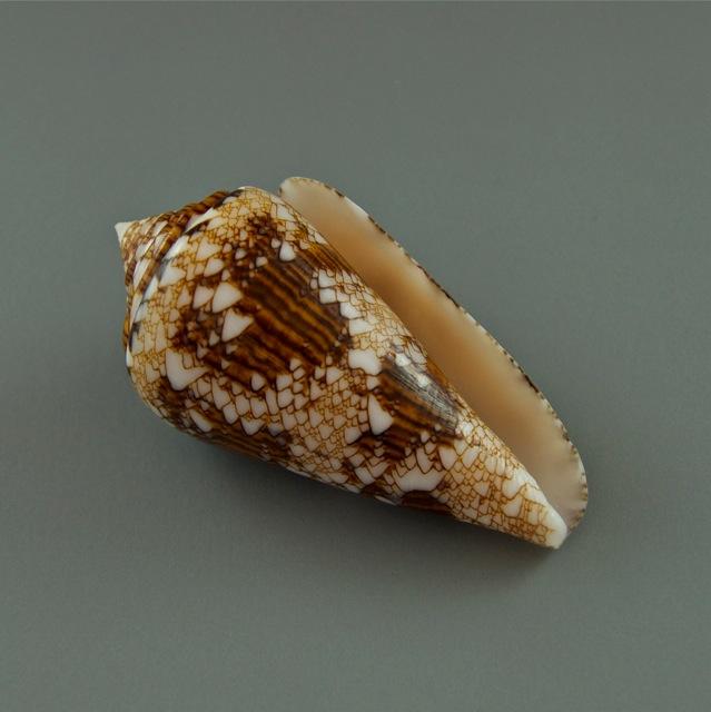 Conus (Cylinder) scottjordani (Poppe, Monnier & Tagaro, 2012) Dsc01816