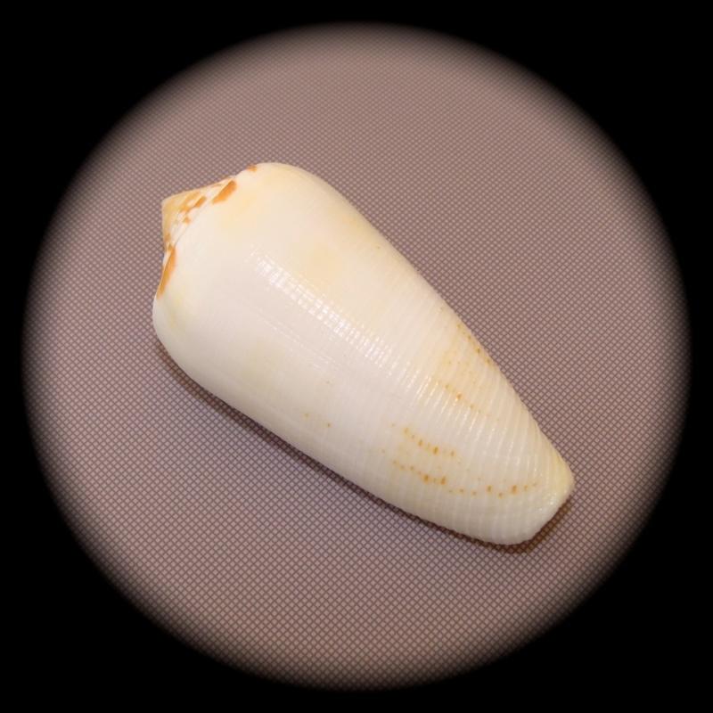 Conus (Pionoconus) circumcisus  Born, 1778 - Page 2 Dsc09610