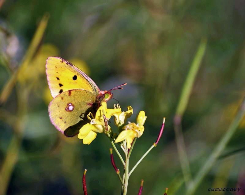 Papillon jaune citron Dsc01210