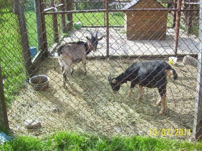 Chèvre et bouc à vendre ou à échanger 000_1910