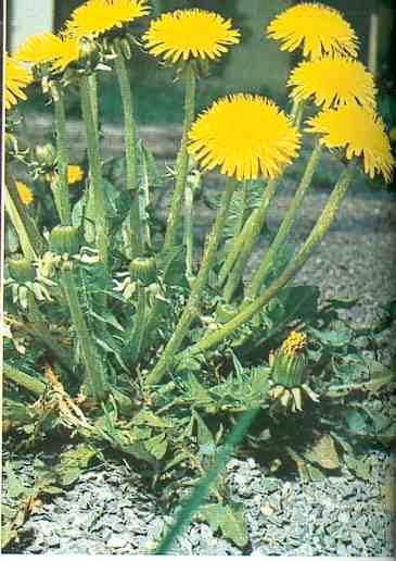 les graines de l'ortie sèches  91u28610