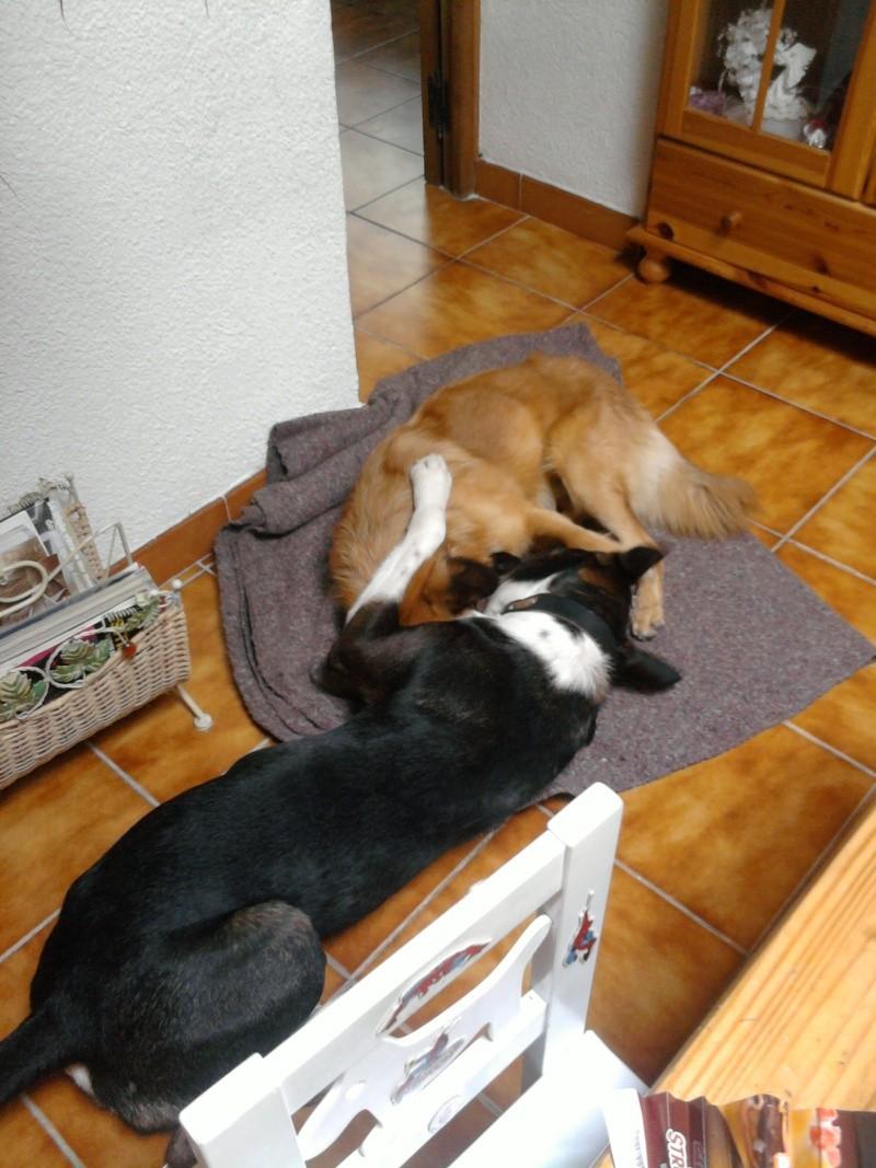 SHEITAN  berger malinois X husky de 2 ans et demi Photo-11