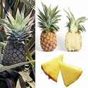 Ananas Ananas10