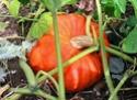 potiron potimarron giraumon kabocha ( Cucurbita maxima ) Cucurb17