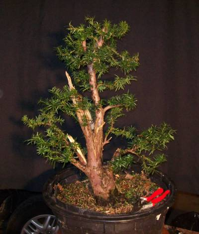 Progression - Taxus Collected from a Hedge 100_4413