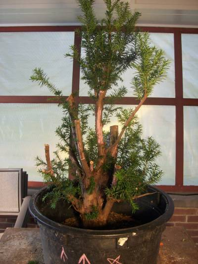 Progression - Taxus Collected from a Hedge Taxus_14