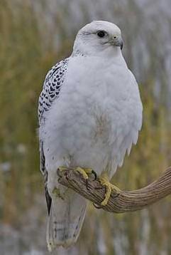La fauconnerie Faucon10