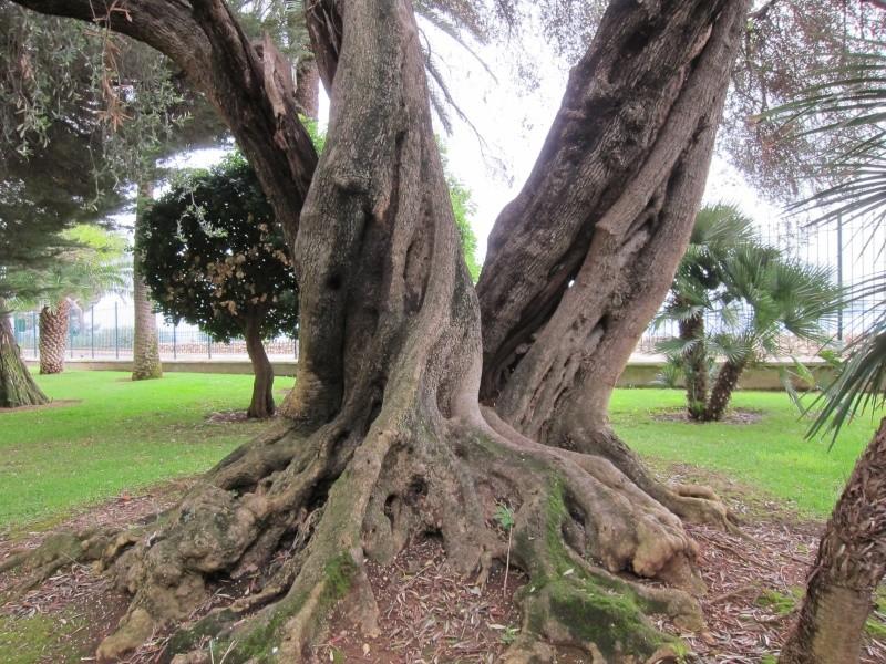 La culture et l'entretien de l'olivier- -Olea Europea - Page 3 02710