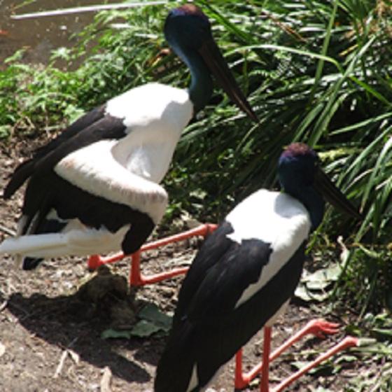 Les oiseaux des jardins australiens Brolga12