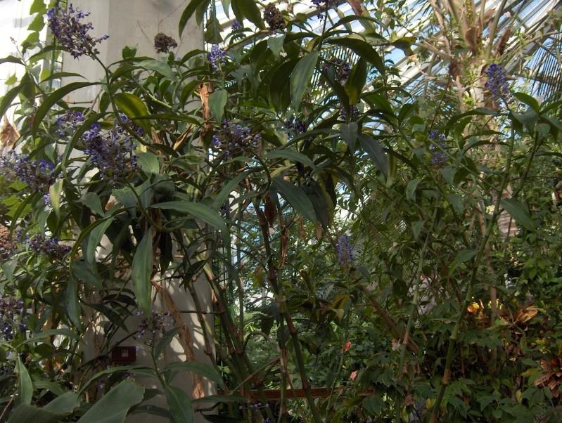 Quelques plantes exotiques Dichor10