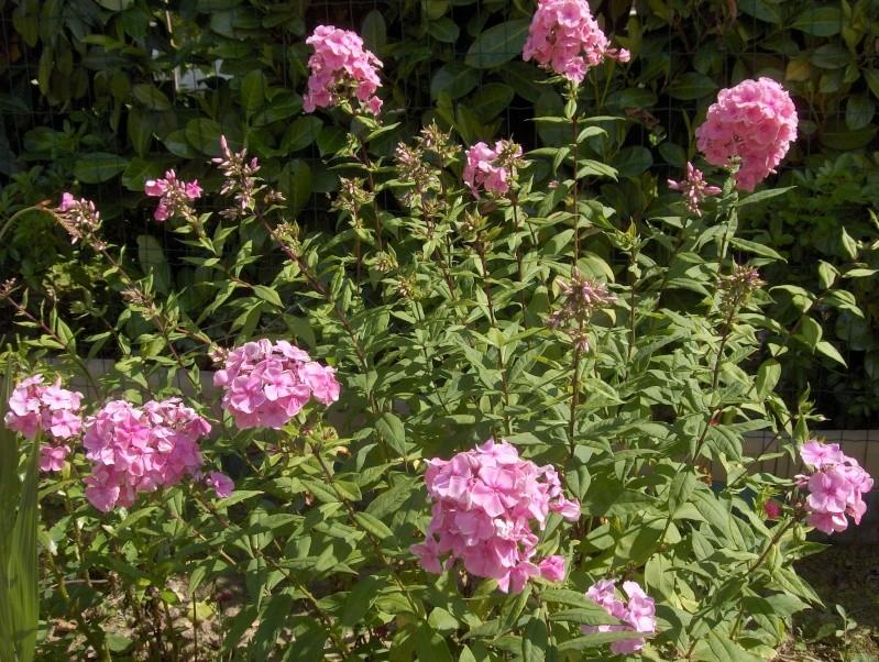 Floraisons du mois de juillet Hpim3317