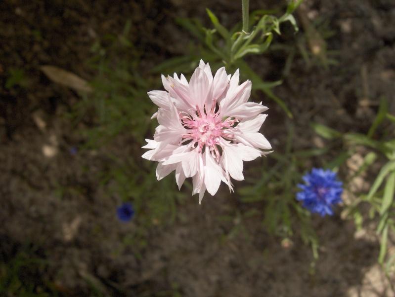 Floraisons du mois de juillet Hpim3318