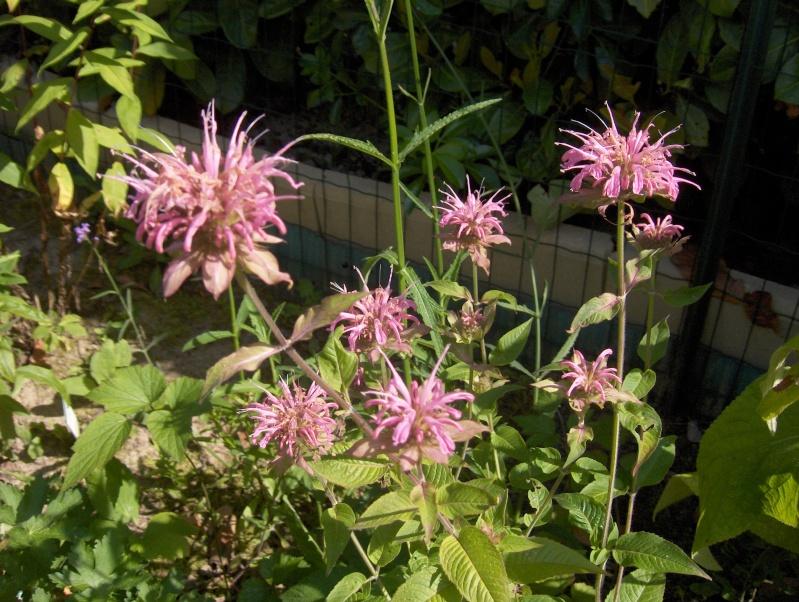 Floraisons du mois de juillet Hpim3319