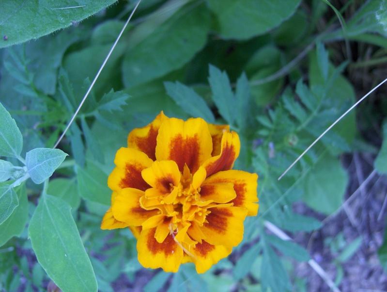 Floraisons du mois de juillet Hpim3320