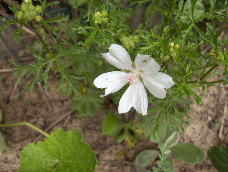 Deux plantes à identifier svp Hpim3322