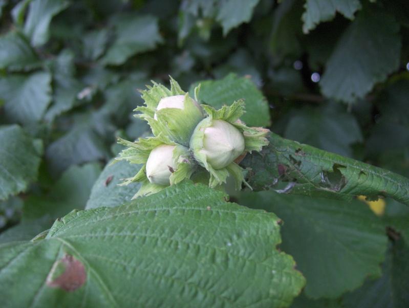 Après la floraison,les fruits !!! Hpim3419