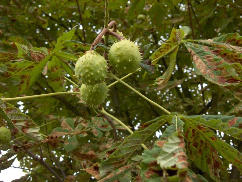 Après la floraison,les fruits !!! Hpim3421