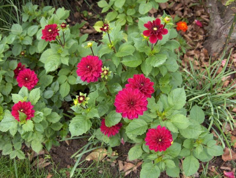 Les fleurs de mon jardin Hpim3622