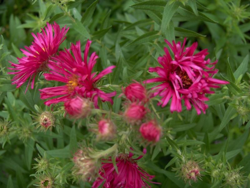 Floraisons du mois de septembre - Page 2 Hpim3718