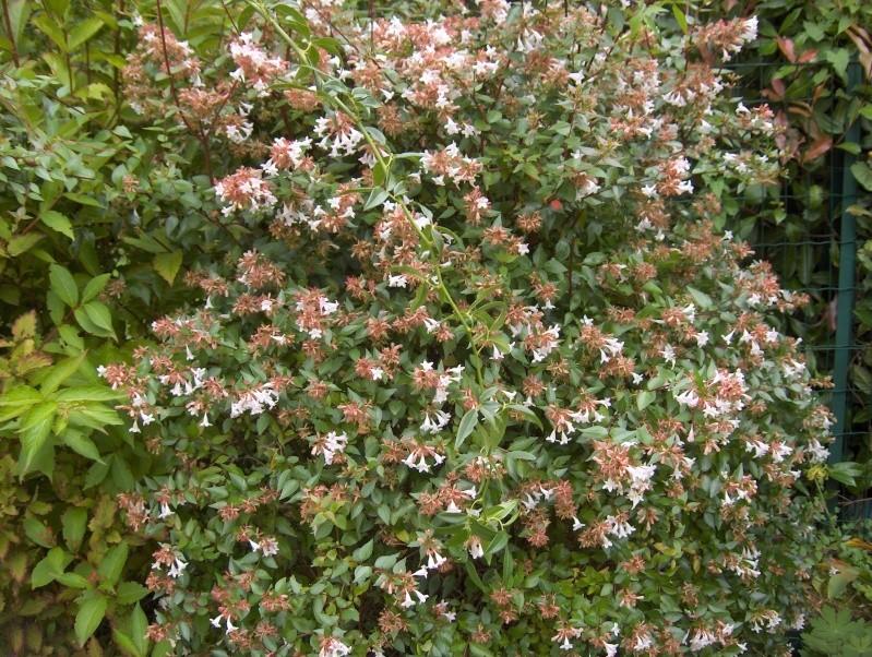 Les fleurs de mon jardin Hpim3735