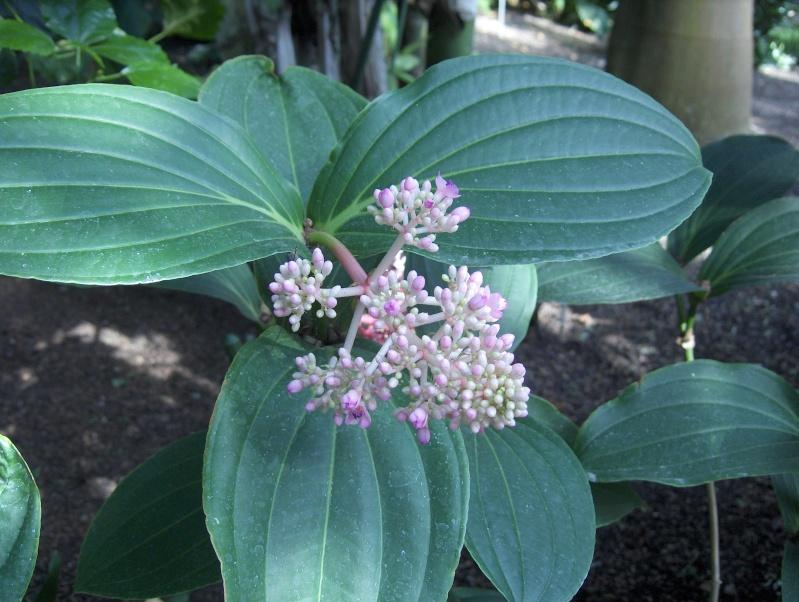 Quelques plantes exotiques Hpim3831