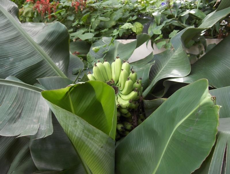 Quelques plantes exotiques Hpim3928