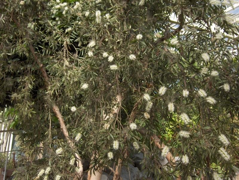 Quelques plantes exotiques Hpim3932