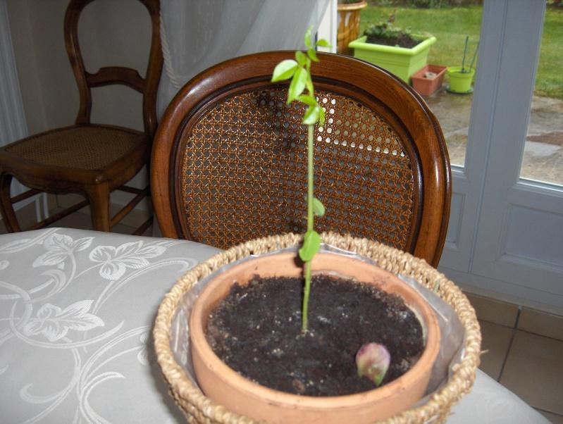 semis et culture d'erythrina crista galli Hpim3937