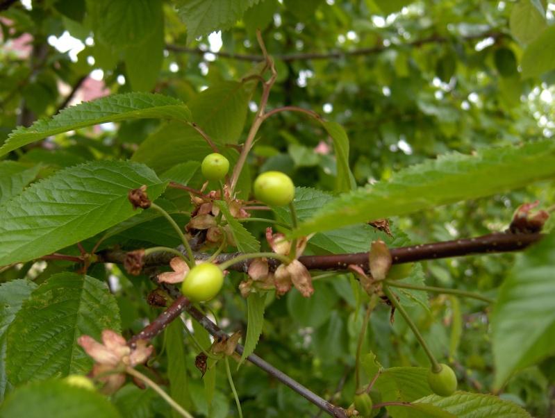 Après la floraison,les fruits !!! Hpim4635