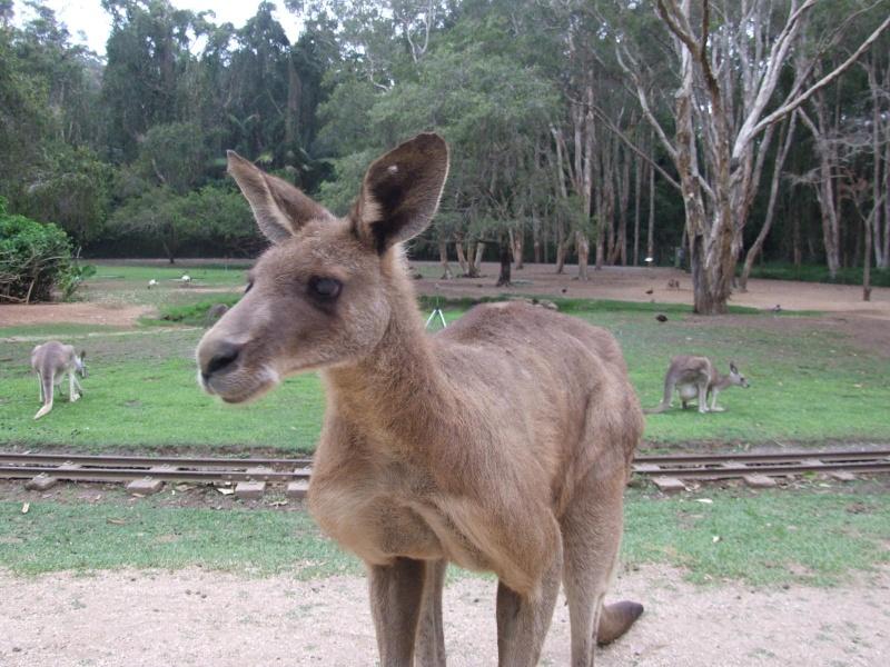 Les animaux sauvages d'ici et d'ailleurs Kangou13